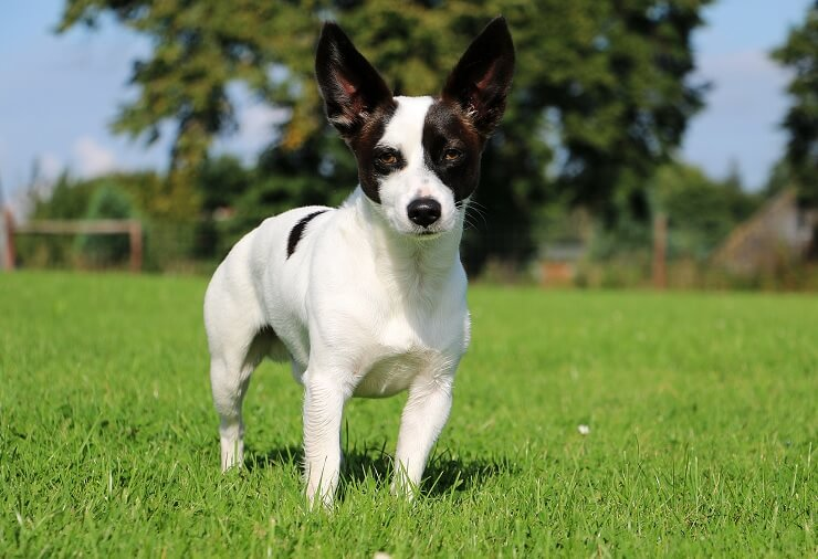 jack russell chihuahua mix